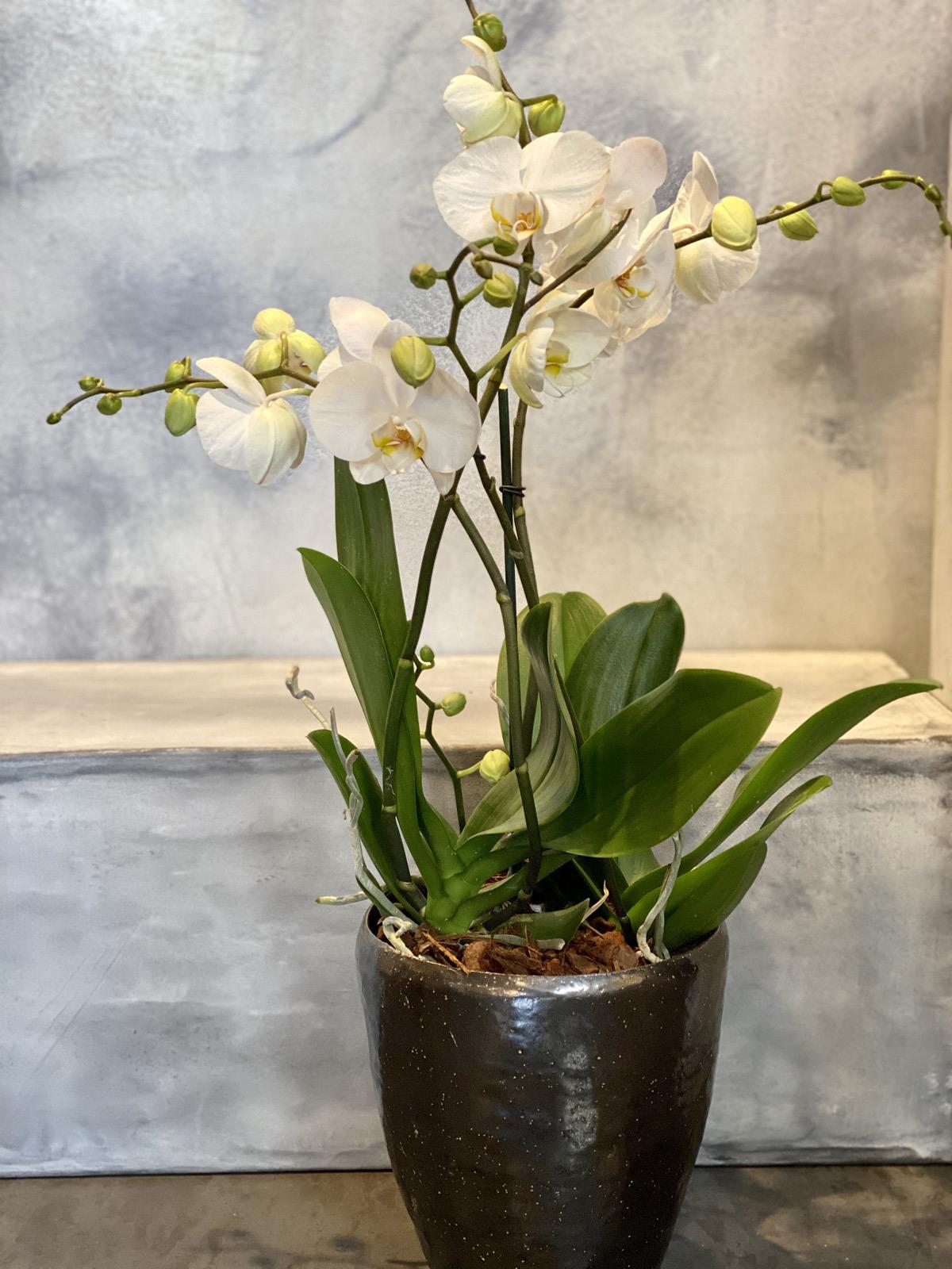 Orchidee en pot 125