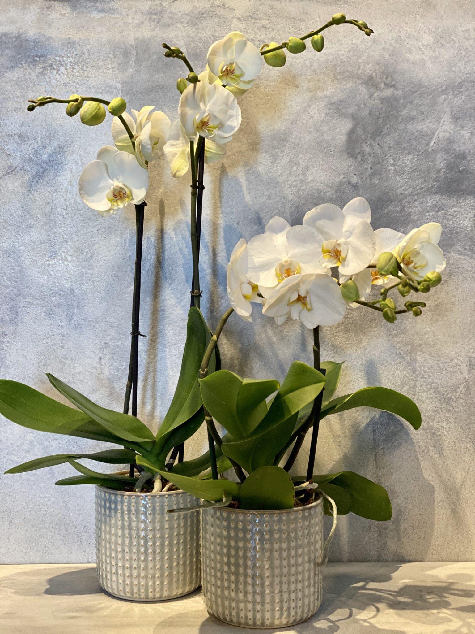 Orchidee en pot 40