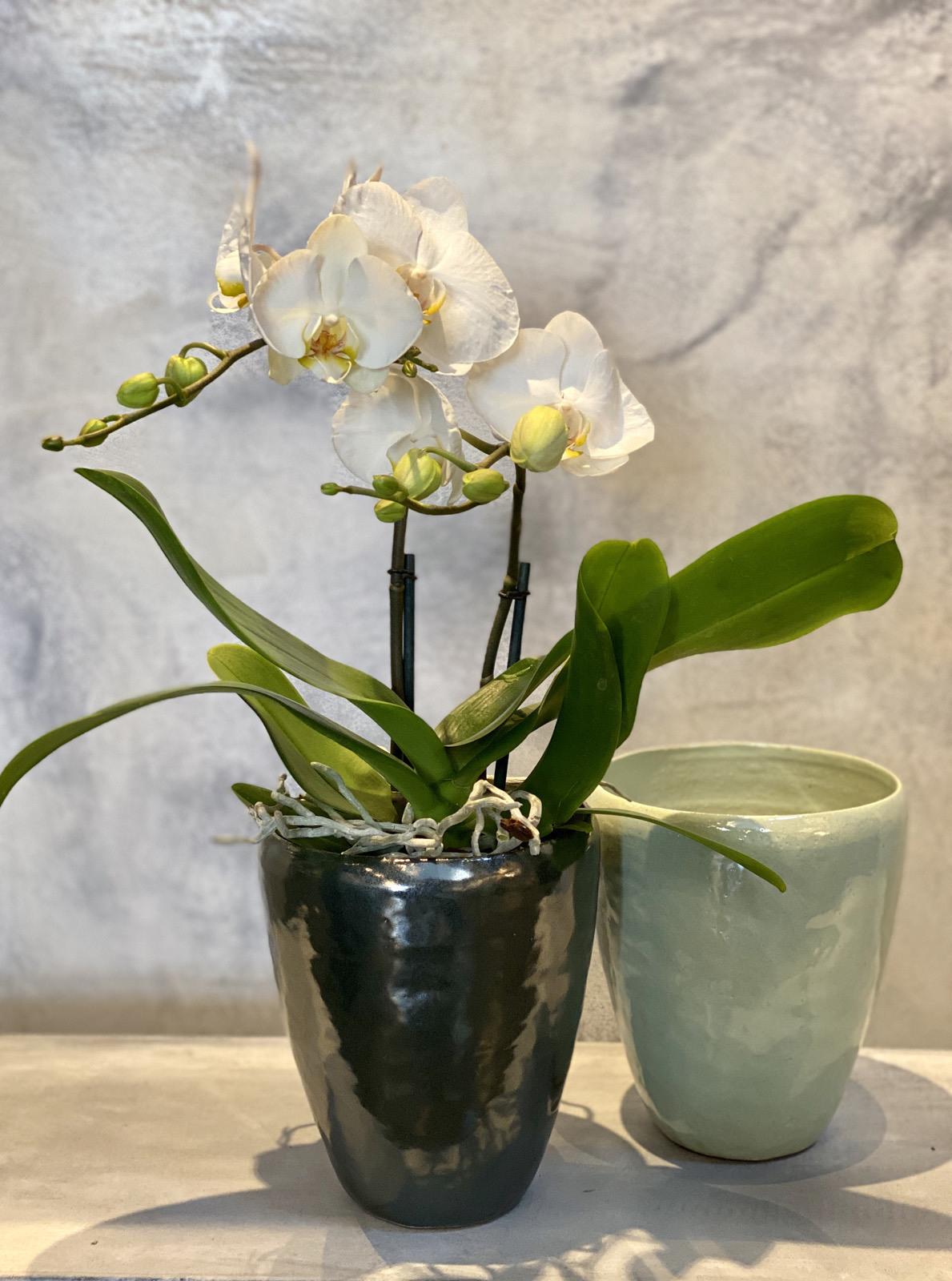 Orchidee en pot 75